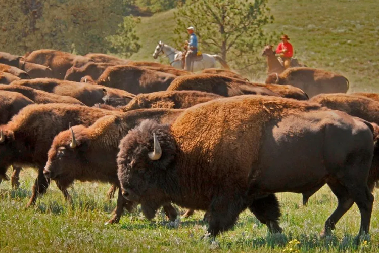Bison Sustainable Ranching - Noble Premium Bison